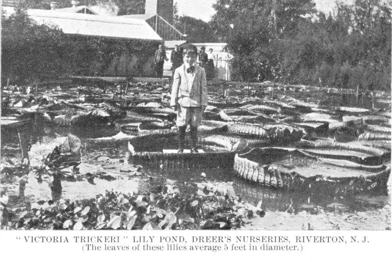 Dreer Nursery - Victoria Trickeri Lily Pond