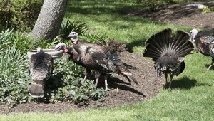 Turkeys at the birdbath
